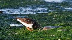 Ruddy turnstone eating from dead fish on breakwater on beach in winter Stock Footage