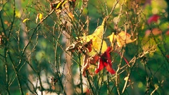 Last few laves on the bare branches of the trees in a sunny autumn day. Pan.. Stock Footage