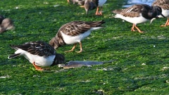 Ruddy turnstone eating from dead fish on breakwater on beach in winter Stock Footage