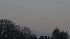 Jackdaws, huge flock congregating at dusk for communal roosting in forest Stock Footage