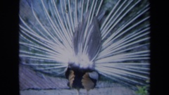 1969: a peacock with his feathers out CALIFORNIA Stock Footage