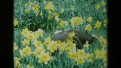 1969: a peacock hiding in a bed of yellow flowers CALIFORNIA Stock Footage