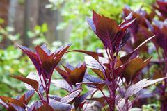 Red amaranth (Amaranthus cruentus)  closeup Stock Photos