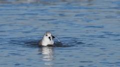 Sanderling (Calidris alba) in winter plumage bathing in surf on beach Stock Footage