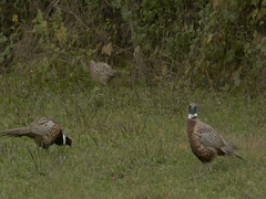 Female and male pheasants walking and pecking at food. Stock Footage