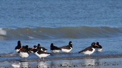 Pied oystercatchers and sanderlings foraging and taking off from beach in winter Stock Footage