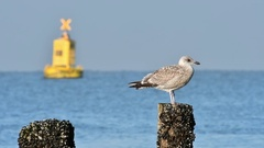 Herring gull (Larus argentatus) in first winter plumage perched on beach post Stock Footage