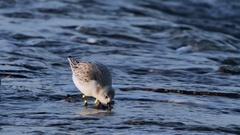 Colour-ringed sanderling (Calidris alba) in winter plumage foraging on beach Stock Footage