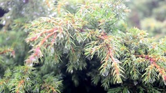 Juniper with dew in the morning in summer Stock Footage