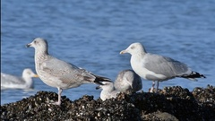 Herring gull juvenile in second winter plumage and adult taking off Stock Footage