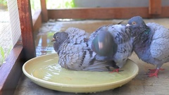 Pigeon bird bathing Stock Footage