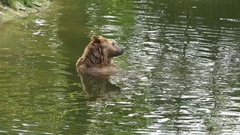 4k Brown Bear refreshing in water and scratching his head Stock Footage