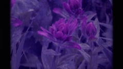 1975: wet natural flowers AGATE SPRINGS MONTANA Stock Footage