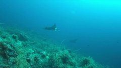 Two Manta rays on a coral reef 4k Stock Footage