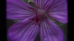 1975: a beautiful flower with purple colour showing its beauty AGATE SPRINGS Stock Footage