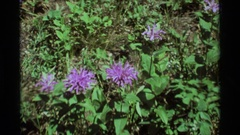 1975: tiny black bug walks on thin and curled petals of purple flower growing Stock Footage