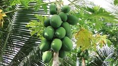 Tropical fruit papaya Stock Footage