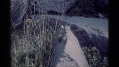 1975: cat on hunt MINARET WILDERNESS CALIFORNIA Stock Footage