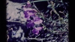 1975: close up of a pretty purple penstemon flower on a bush MINARET WILDERNESS Stock Footage