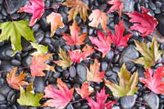 Fall Conceptual view of Fallen Maple Leaves Stock Photos