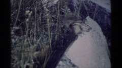 1975: chipmunk on a promontory MINARET WILDERNESS CALIFORNIA Stock Footage