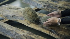 Two hedgehogs involved in wedding photo shoot outdoors Stock Footage