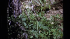 1973: zoomed in view of a whippoorwill SCAPEGOAT WILDERNESS MONTANA Stock Footage