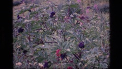 1973: zooming in to a small berry plant SCAPEGOAT WILDERNESS MONTANA Stock Footage