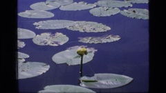 1973: flower in the pond SCAPEGOAT WILDERNESS MONTANA Stock Footage