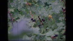 1973: people picking wild berries SCAPEGOAT WILDERNESS MONTANA Stock Footage
