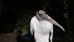 Wood stork portrait Stock Footage