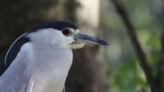 Black Crowned Night Heron Stock Footage
