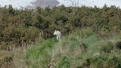 Arctic Wolf Howling on Hill Stock Footage