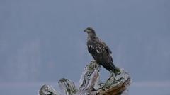 Eagle Flies Off Tree Stock Footage