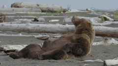 Grizzly Bear Chilling Out On Shoreline Arkistovideo