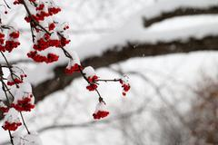 Snowy Mountain Ash Berries during a Snow Storm Kuvituskuvat
