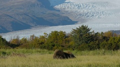 Mother Grizzly Bear and Cubs Leaving Shot with Glacier Background Stock Footage