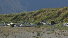 Three Grizzly Bears Walking Along Shore Stock Footage