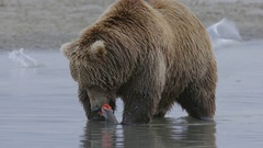 Grizzly Bear Munching on Remains of Fresh Salmon Stock Footage