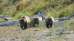 Three Grizzly Bears Walking Along Shore Close Up Stock Footage
