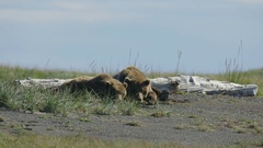 Two Grizzly Bears Lying Together on Ground Stock Footage