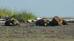 Three Grizzly Bears Lying Together On Ground Stock Footage