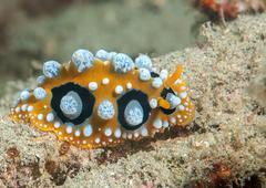 Ocellated wart slug ( phyllidia ocellata ) crawls across the seafloor . Stock Photos