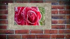 Photo frame of a beautiful rose  on brick wall, with snow effect Stock Footage