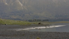 Grizzly Bear Walks Along Shore With Mountian Background Stock Footage
