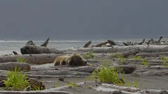 Wide Shot Of Grizzly Bear Sleeping On Drift Wood Stock Footage