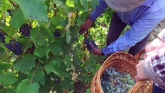Authentic farmer gathering ripe grapes from vineyard in harvest Stock Footage