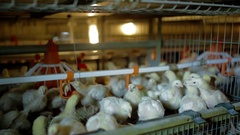 Young Chickens are eating and drinking Stock Footage