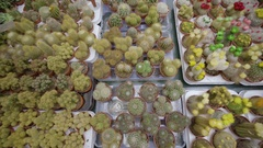 Birds Eye View Of A Variety Of Cacti And Succulents In A Market In Amsterdam Stock Footage