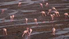 Flamingos filter feeding in creek, Mumbai Stock Footage